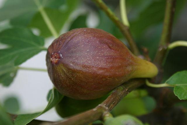 Violet-brune figner